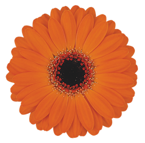 Mini Gerbera Allure