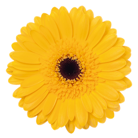 Mini Gerbera Bison Gold